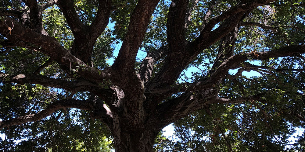Grandmother oak tree, over 70 years old, fills the whole frame, branches silhouetted against the sun  stretched out